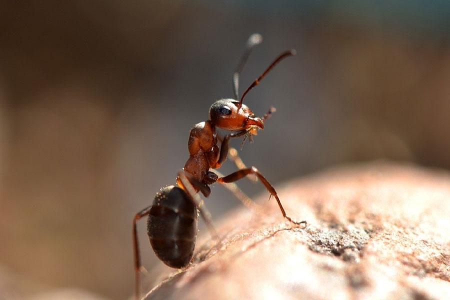 Best ant pest control Melbourne