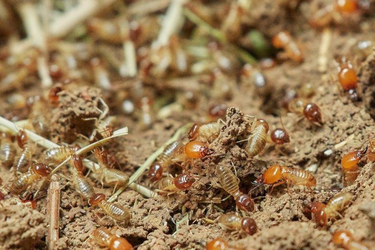 Termite pest control Craigieburn